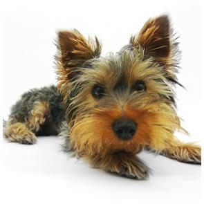 Tierfotografie Giessen - Fotowerkstatt Lich - Kleiner Hund vor weißem Hintergrund