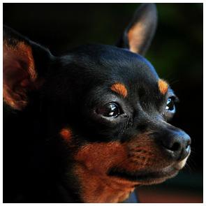 Tierfotografie Giessen - Fotowerkstatt Lich - Hund vor dunklem Hintergrund